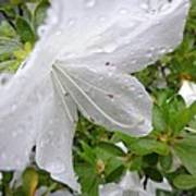 Flower Laced With Rain Drops Poster