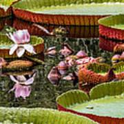 Flower Of Victoria Cruziana Poster