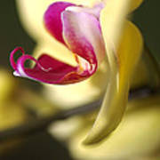 Flower-orchid-yellow Poster