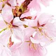 Flowering Cherry Poster