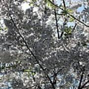 Flowering Cherry - White Poster