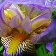 Flowering Iris Poster