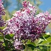Flowering Lliac Bush Poster