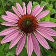 Flowering Purple Cone Flower Poster