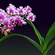 Flowers - Aerides Lawrenciae X Odorata Orchid Poster