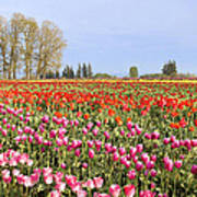Flowers Blooming In Tulip Field In Springtime Poster