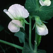 Flowers Of The Garden Pea Poster