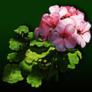 Flowers - Pale Pink Geranium Poster