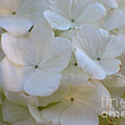 Snowball Flowers Poster