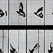 Flying Bird Poster by Eadweard Muybridge