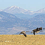 Flying Canadian Geese Rocky Mountains Panorama 2 Poster