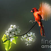 Flying Cardinal Landing On Branch Poster