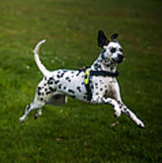 Flying Crazy Dog. Kokkie. Dalmation Dog Poster