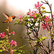 Flying Hummingbird Sipping Nectar Poster