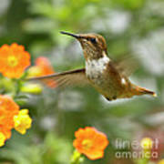Flying Scintillant Hummingbird Poster