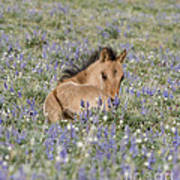 Foal In The Lupine Poster by Carol Walker