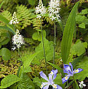 Foamflower And Crested Dwarf Iris - D008428 Poster