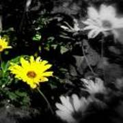 Focus On 2 Yellow Daisies Poster