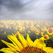 Foggy Field Of Sunflowers Poster