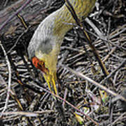 foraging for wild edibles Sandhill Crane Poster