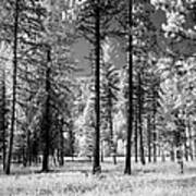 Forest Black And White Poster