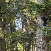 Forest Black Bear Cub Poster