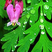Formosa Bleeding Heart On Ferns Poster