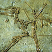 Fossil Remains Of The Pterodactyl Poster