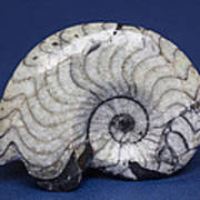 Fossilized Ammonite Poster