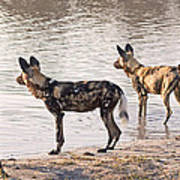 Four Alert African Wild Dogs Poster