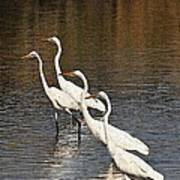Four Egrets Fishing Poster