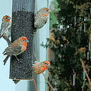 Four Finches Feeding Poster