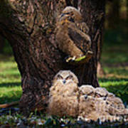Four Owl Chicks In A Dark Forest Poster