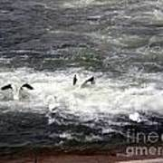 Four Pelicans By The Weir Poster