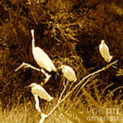 Four Resting Egrets Poster