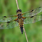 Four-spotted Skimmer Poster