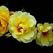 Four Stages Of Bloom Of A Yellow Rose Poster