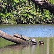 Four Yellow Bellied Turtles Poster
