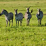 Four Zebras Poster