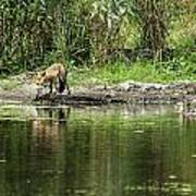 Fox At Water Hole Poster