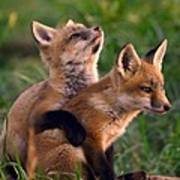 Fox Cub Buddies Poster by William Jobes