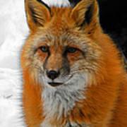 Fox Gaze Poster