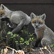 Fox Kit Siblings Poster by RJ Martens