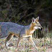 Fox On The Move Poster by Dana Moyer