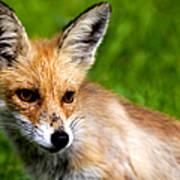 Fox Pup Poster by Fabrizio Troiani