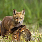 Fox Pup In The Morning Light Poster