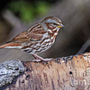 Fox Sparrow Pictures 16 Poster