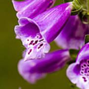 Foxglove Flower Poster