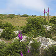 Foxgloves And Cows Poster