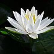 Fragrant Water-lily Poster